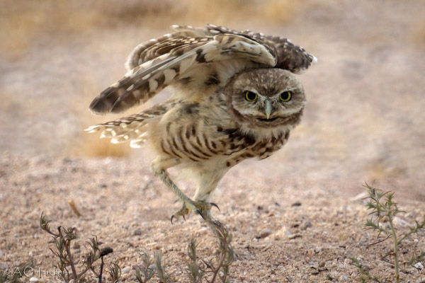 Dance Of The Owl