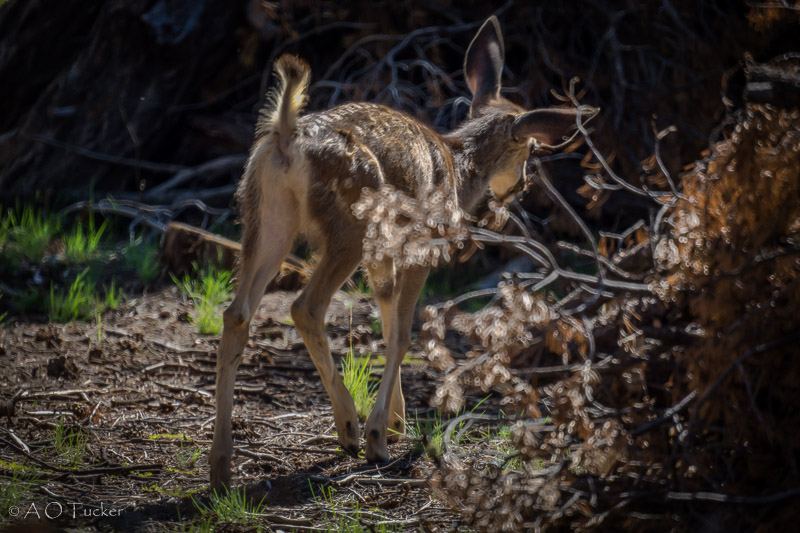 Fawn Morning Light - Grand Canyon Post