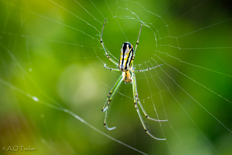 Yellow White And Black Spider