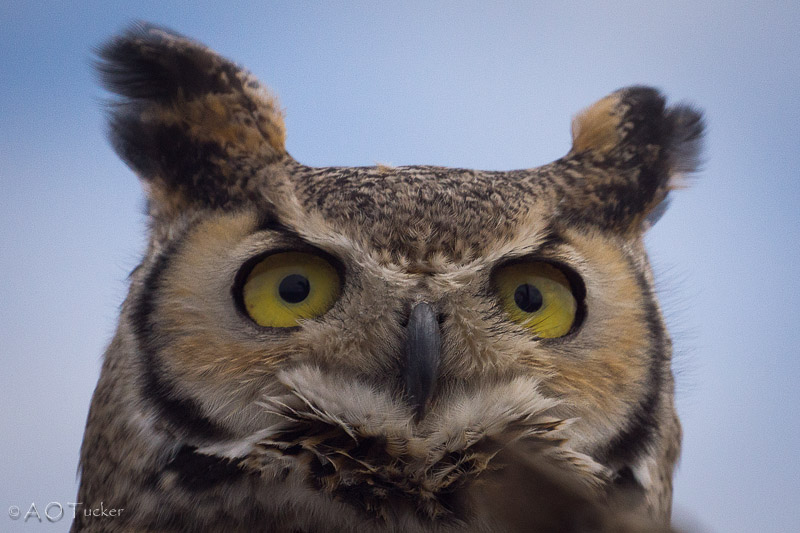 Horned Owl Radar
