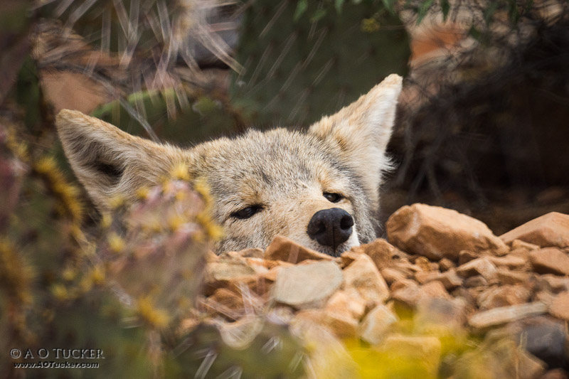Fox Hole Coyote
