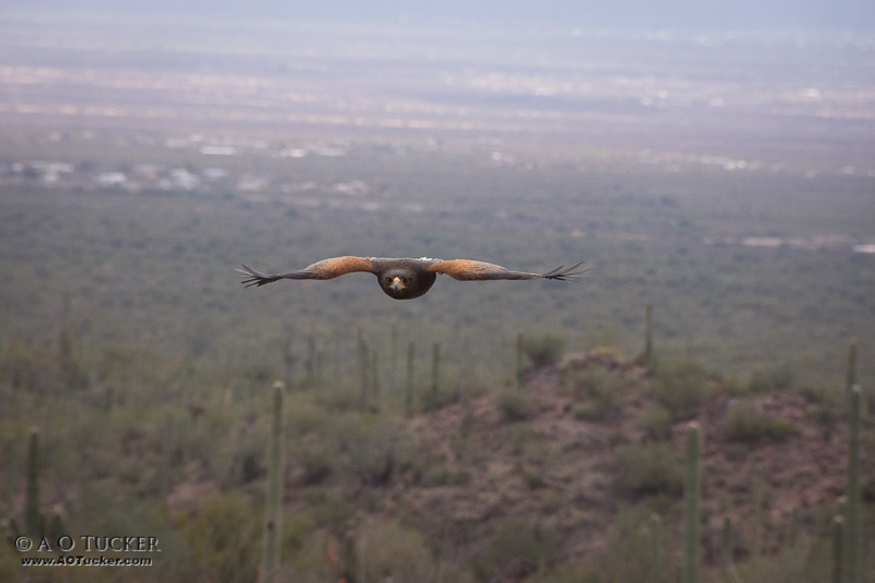 Harris Hawk Soaring - Arizona Sonora Desert Museum post