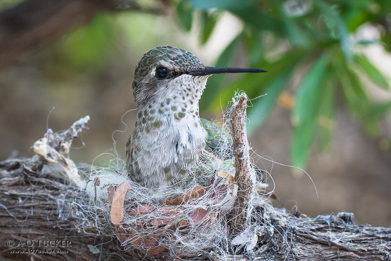 Hummingbird Nest In Progress
