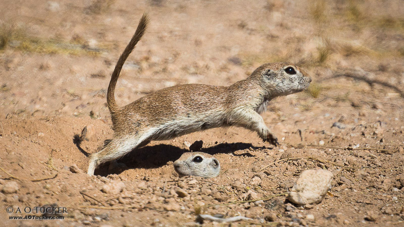 Round-tailed Leap Frog  - Round-tailed Ground Squirrel post