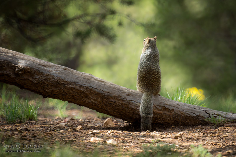 Squirrel On A Log With Bokay - Wildlife Views Calendar 2015 post