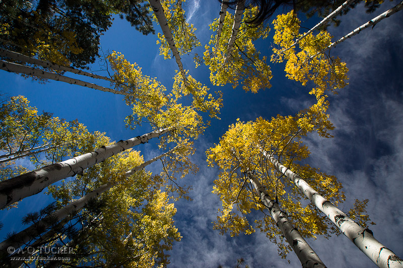 Aspens Up High In The Sky - Arizona Republic Weather Photo 12/04/2014 - Aspens