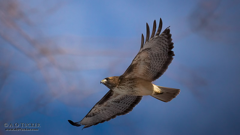 Soaring Over Red Rock State Park - Arte de Avian National Juried Exhibit post