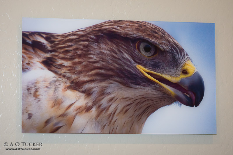 Ferruginous Hawk Super Close-up Sample