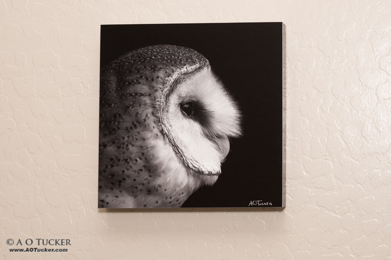 Ghost Owl Portrait Sample