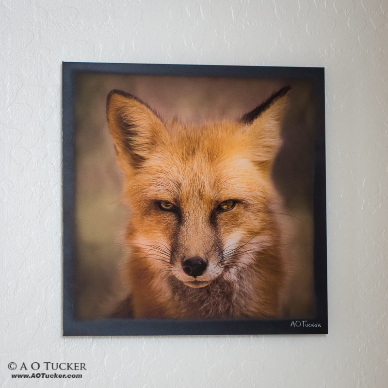Eyes Of The Red Fox Sample