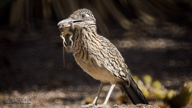 Roadrunner Lizard Treat - Greater Roadrunner Family post
