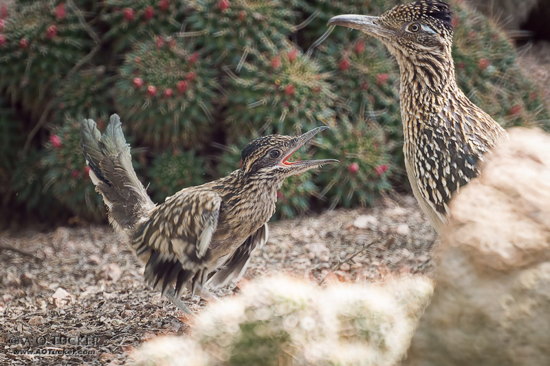 Roadrunner Fledgling Attitude - Greater Roadrunner Family post