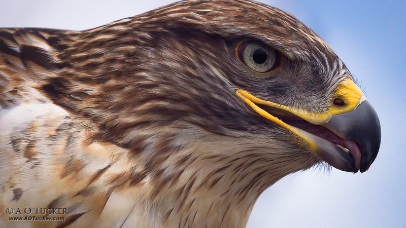 Ferruginous Hawk Super Close-up