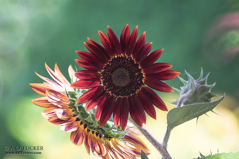Red Sunflower - AZ Republic Weather Photo 07/15/2015 Red Sunflower post