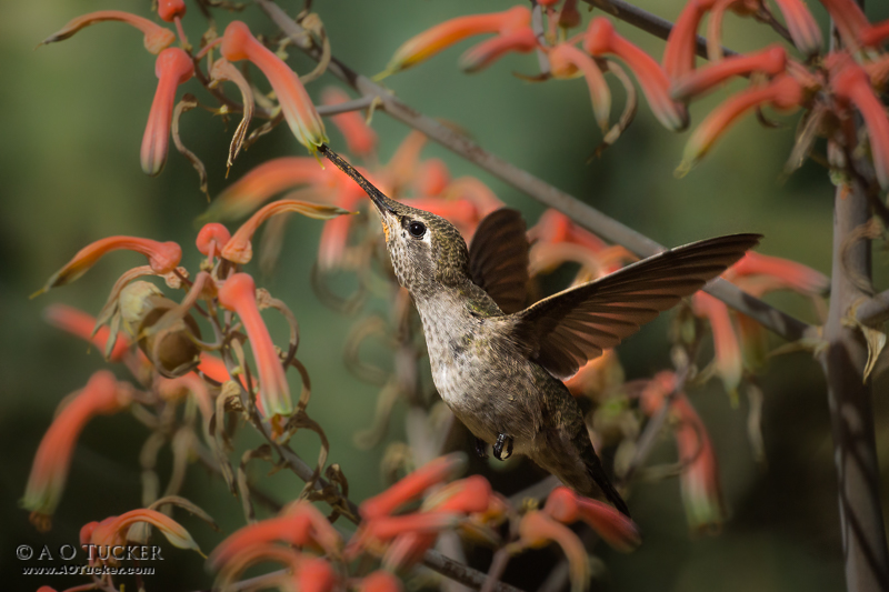Encased In TIme - Sedona Arts Center Hummingbird Exhibit 2015 post