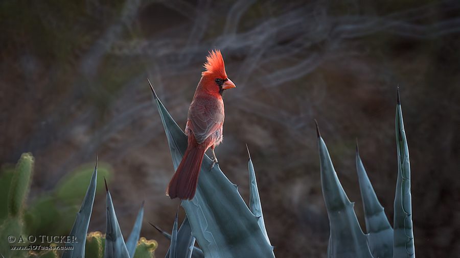 Cardinal Crest Aglow - AZ Republic Weather Photo 08/05/2015 Cardinal post