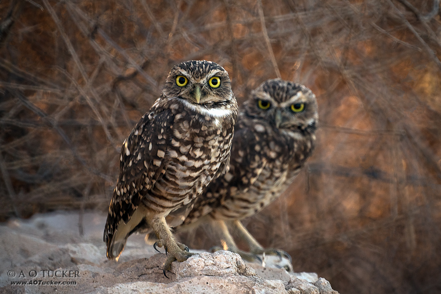 AZ Republic Weather Photo 10/02/2015 Burrowing Owls
