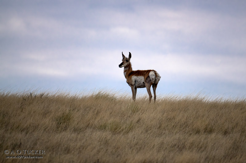 Grasslands Pronghorn - Wupatki National Monument Arizona