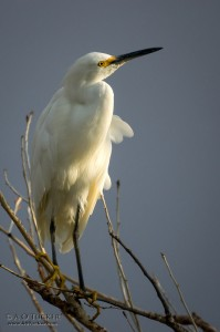 0000008A - Egret In Morning Light